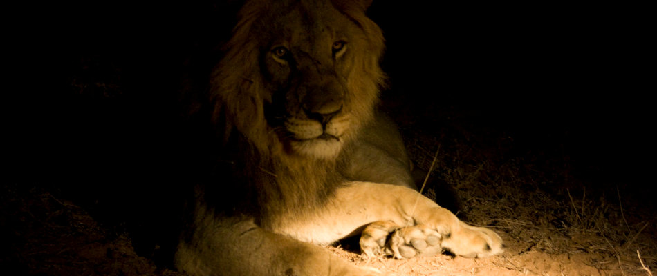 Lion in the spotlight