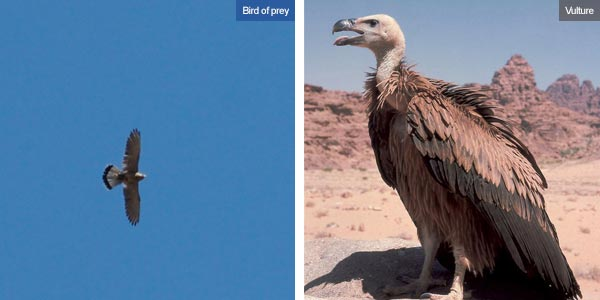 Bird of prey & vulture, Jordan. Photos by Huw J Williams and Visit Jordan
