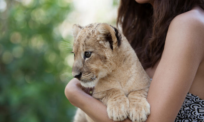 Volunteers often unknowingly pay to raise lion cubs destined to be shot
