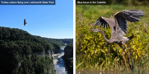 Turkey vulture and blue heron, New York State. Photos by Catherine Mack