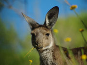 Kangaroo chewing, South Australia. Photo by South Australia Tourist Board