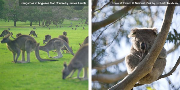 Kangaroos at Anglesea Golf Course and Koala at Tower Hill National Park, Victoria. Photos from Victoria Tourist Board