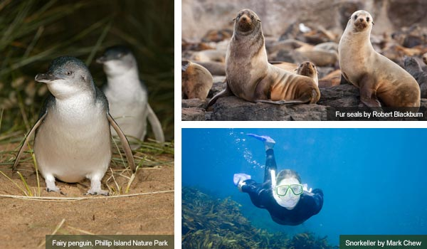 Fairy penguins, fur seals and a snorkeller, Victoria. Photos by Victoria Tourist Board