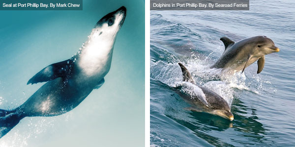 Seal and dolphins at Port Phillip Bay, Victoria. Photos from Victoria Tourist Board