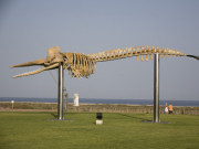 Sperm whale skeleton in Morro Jable, Fuerteventura. Photo by Nick Haslam