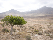 Fig tree in valley below Tindaya, Fuerteventura. Photo by Nick Haslam