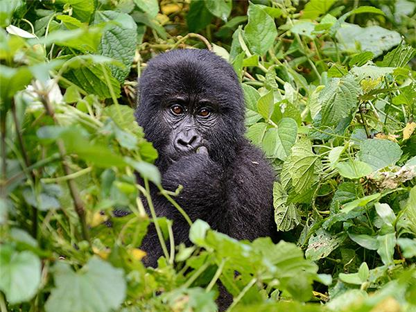Gorillas and game-parks vacation in East Africa