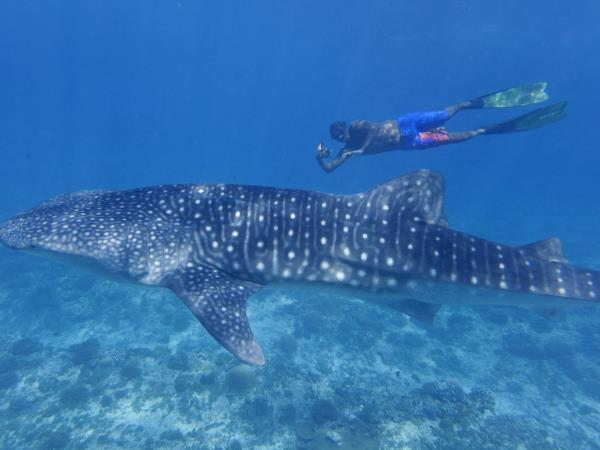 Whale Shark conservation in the Maldives