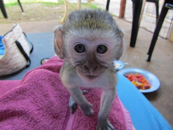 Vervet monkey rehabilitation project in Kwazulu-Natal, South Africa