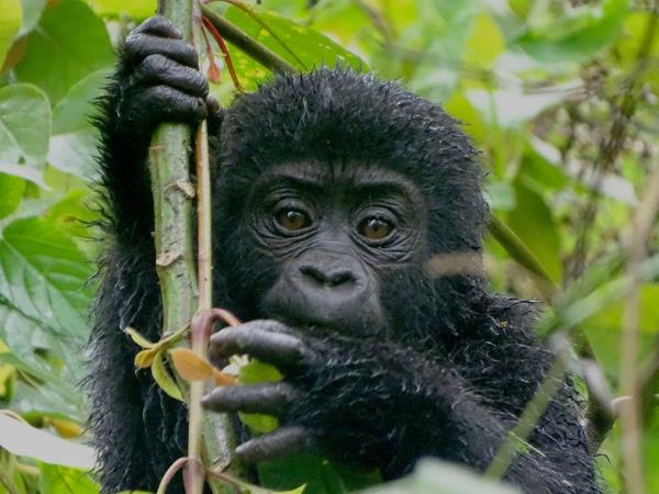 Uganda gorilla tracking and wildlife safari vacation