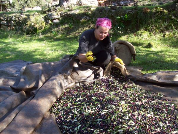 Crete vacation, join the olive harvest
