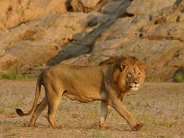 Desert lion conservation safari, Namibia