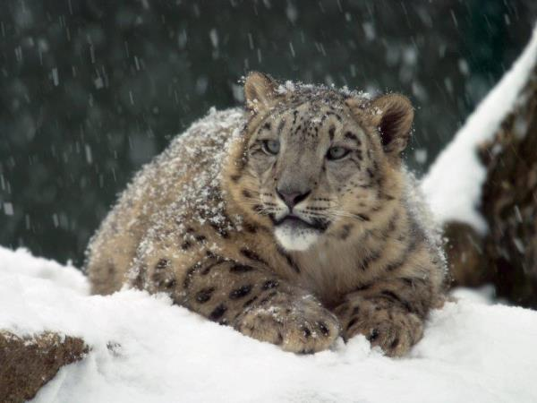 Snow leopard conservation holiday in Kyrgyzstan