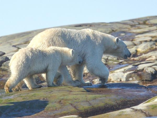 Polar bears and wildlife in the Arctic, Canada