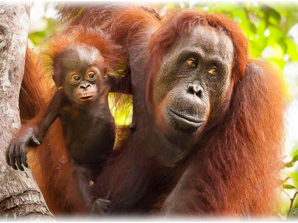 Indonesia, Komodos & orangutan holiday