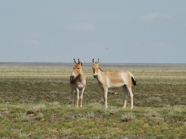 Wildlife conservation & research expedition in the Gobi Desert, Mongolia