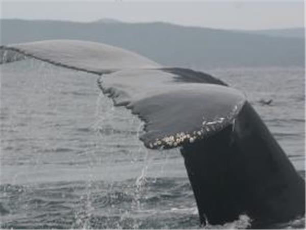 Whale study week in Newfoundland