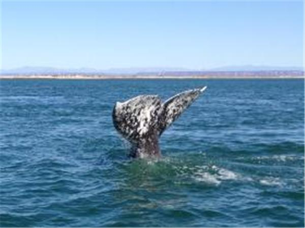 Mexico Whale watching holiday, Grey whales of San Ignacio Lagoon