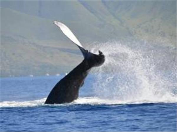Humpback whale watching vacation in Hawaii