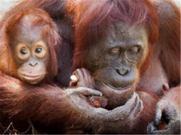 Orangutan conservation & community vounteering on Java