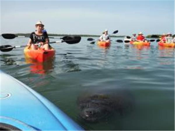 Kayak tours with manatees in Estero Bay, Florida