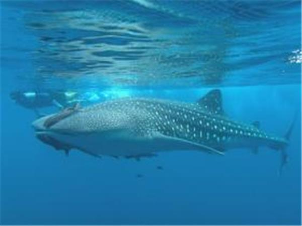 Sea of Cortez whale shark research vacation Mexico