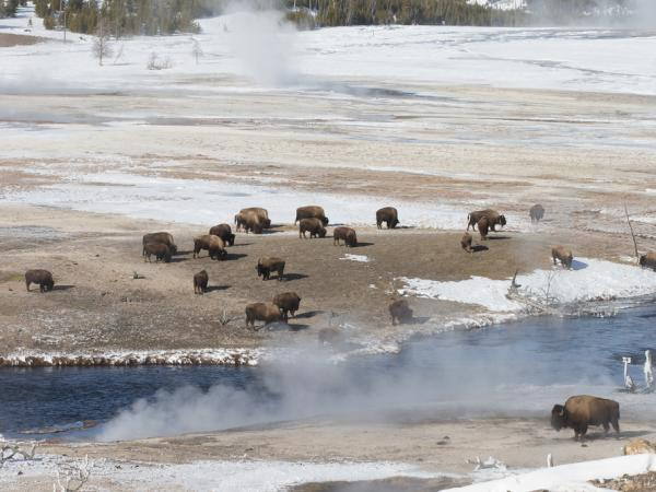 Yellowstone NP winter wildlife tour