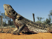 Central Bearded Dragon, South Australia. Photo by South Australia Tourist Board