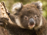 Koala at Hanson Bay Sanctuary, South Australia. Photo by South Australia Tourist Board