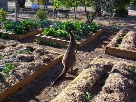 Kangaroo in the Vegetables
