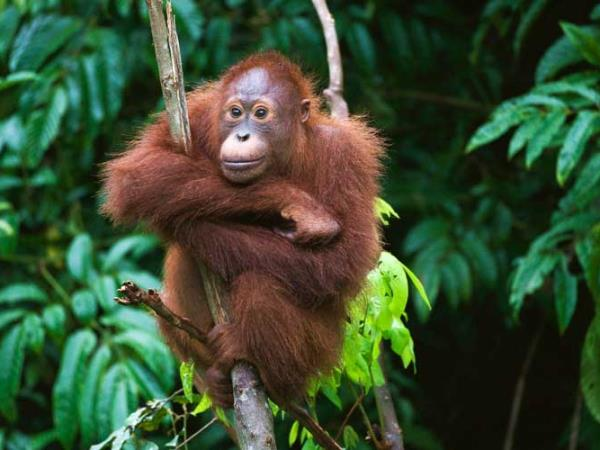 Tanjung Puting orangutan holiday, Borneo