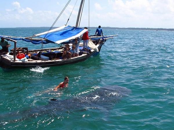 Whale Shark conservation vacation in Tanzania