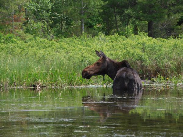 Algonquin Park tours in Canada, canoeing & moose