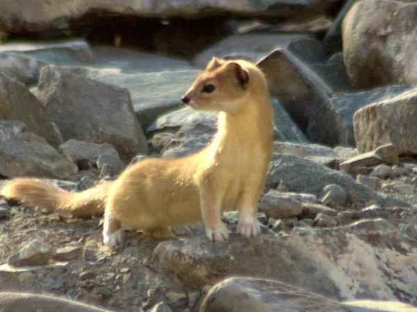 Tibet wildlife vacation, Tibet Plateau mammals