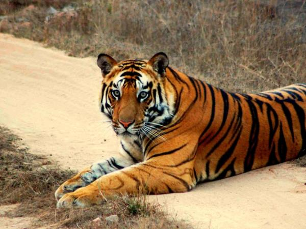 Tigers safaris in India