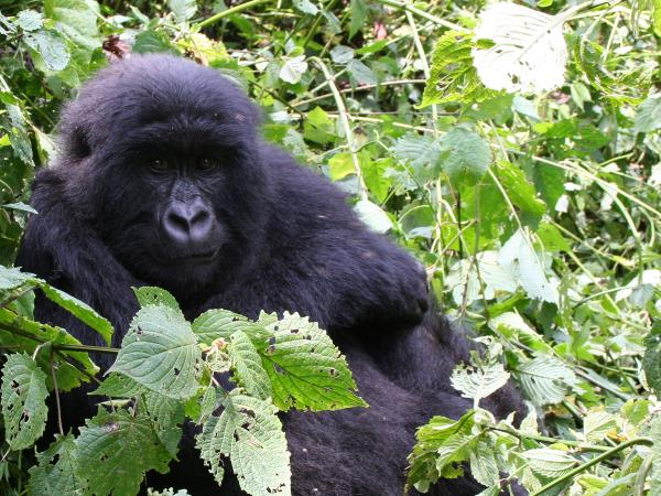 Gorilla safari in the DR Congo