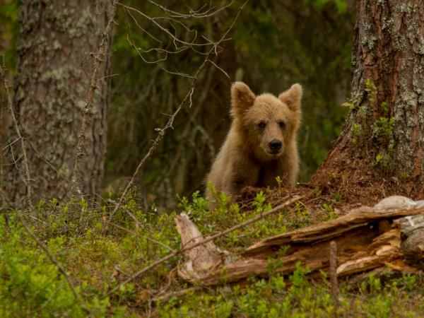 Sweden wildlife holiday, Wolves, Brown Bears and Lynx