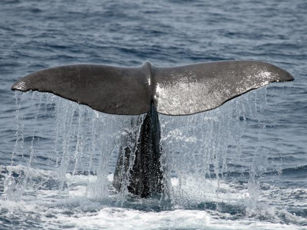 Whale & dolphin research vacation in the Azores, 10 days