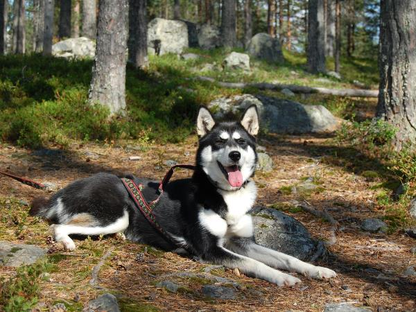 Hiking with huskies vacation in Finland