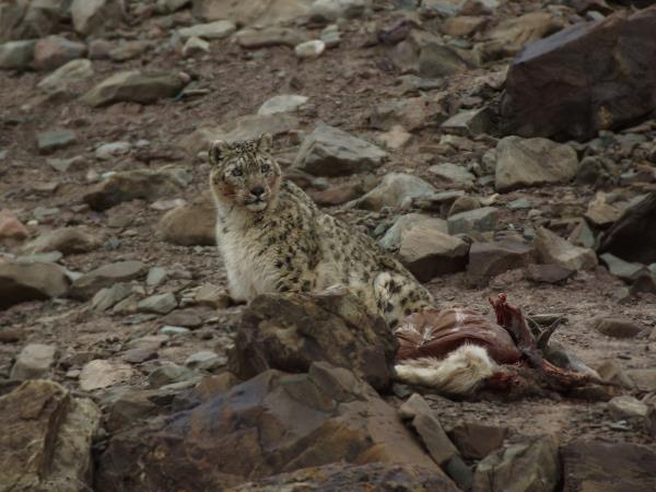 Snow leopard tracking holiday in Ladakh, India