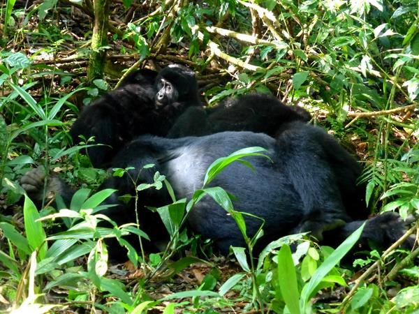 Gorilla and game safari in Uganda