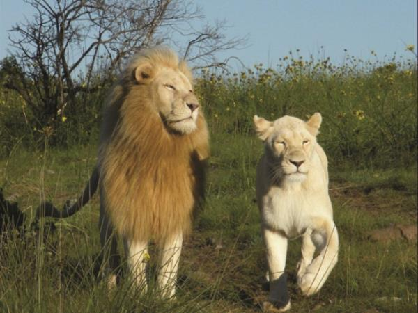 White Lion safari vacation, South Africa