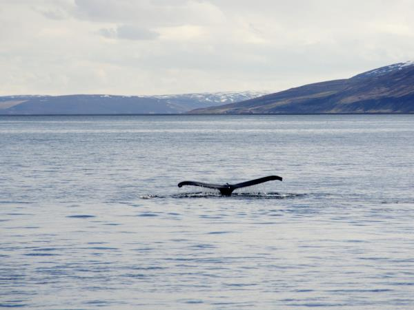Iceland self drive vacation, whales watching & riding