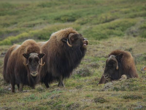 Canadian tundra wildlife holiday,Musk-ox, Autumn Colours & Aurora