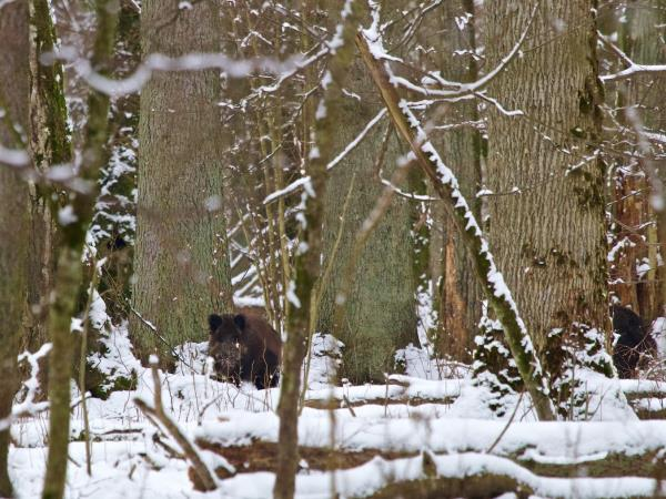 Poland bison safari and wolf tracking vacation, Winter