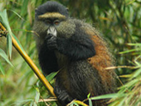 Golden Monkeys, Rwanda, Steppes Discovery