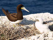 Booby with chick, Cayman Islands. Photo by Cayman Islands Tourist Board
