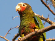 Cayman parrot, Cayman Islands. Photo by Cayman Islands Tourist Board