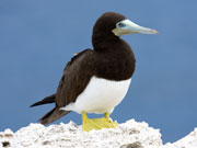 Brown Booby, Cayman Islands. Photo by Cayman Islands Tourist Board