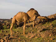 Camels near Caldera Blanca, Lanzarote. Photo by Nick Haslam